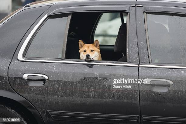 A dog keeps warm in the back seat of a salt caked car in Toronto Ontario Canada