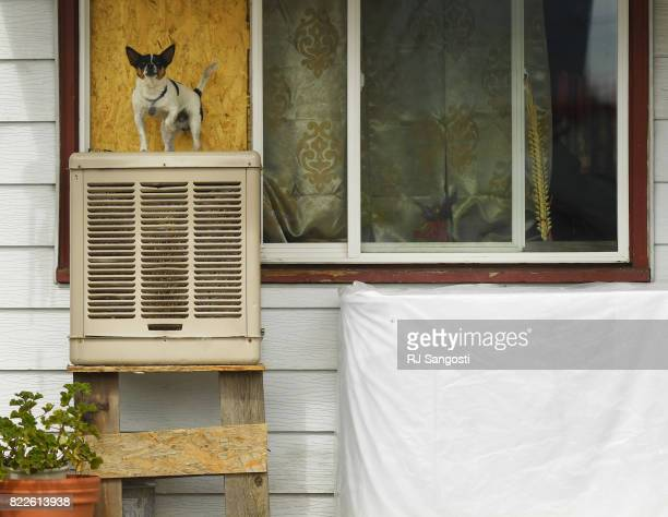 A dog keeps watch of his domain at a home in the Westwood neighborhood on July 25 2017 in Denver Colorado