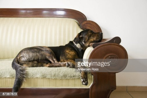 Dog laying on a couch : Stock Photo