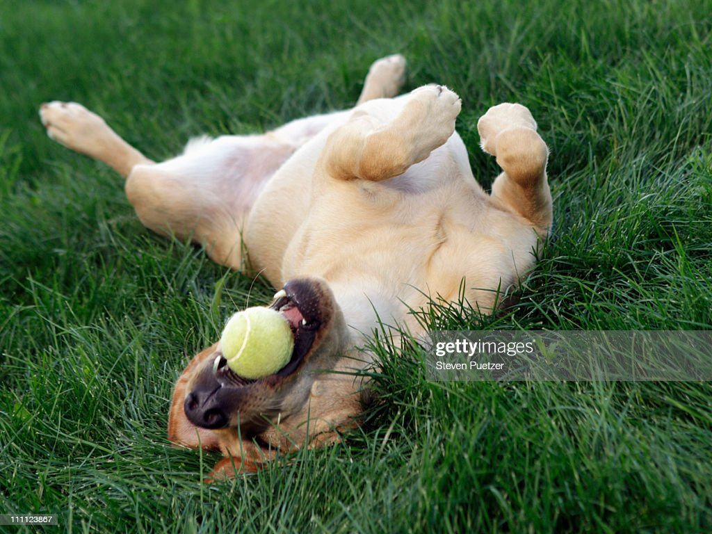 Dog laying upside down in grass with tennis ball : Stock Photo