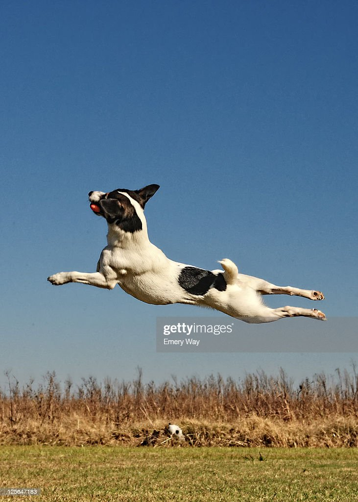 Dog leaps high to catch his ball : Stock Photo