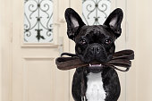 french bulldog dog  waiting a the door at home with leather leash in mouth , ready to go for a walk with his owner