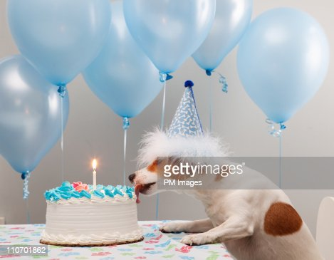 Dog licking birthday cake : Stock Photo