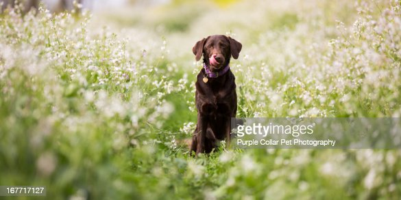Dog Licking Nose in Field of Flowers : Stock Photo