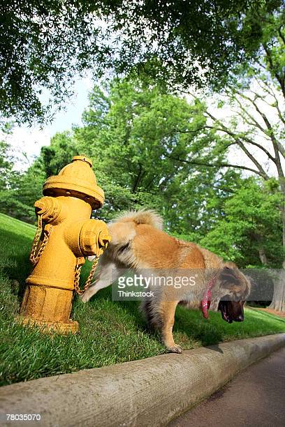 Dog lifting leg on fire hydrant