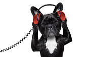 french bulldog dog  listening to oldies with headphones or earphones from a  retro    recorder, relaxing with eyes closed, isolated on white background