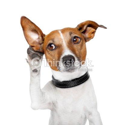 Dog listening with big ear