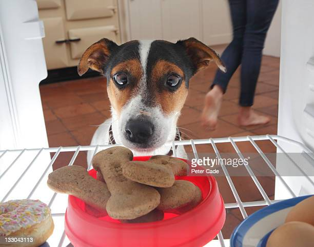 Dog looking at bowl of biscuits in refrigerator.