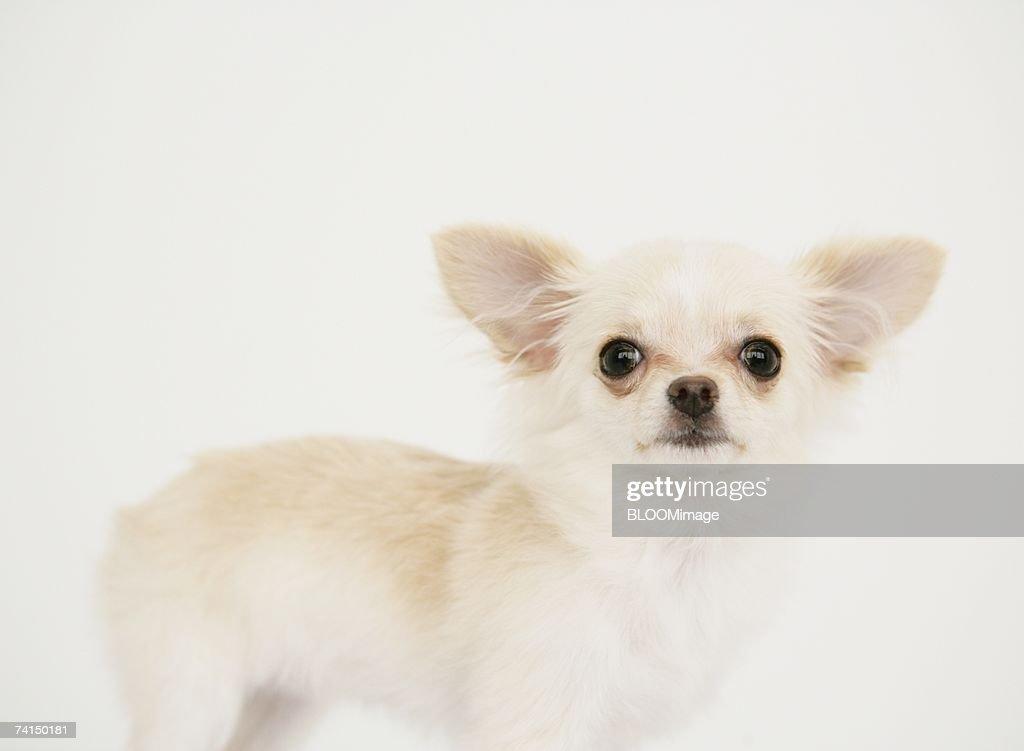 Dog looking at camera : Stock Photo