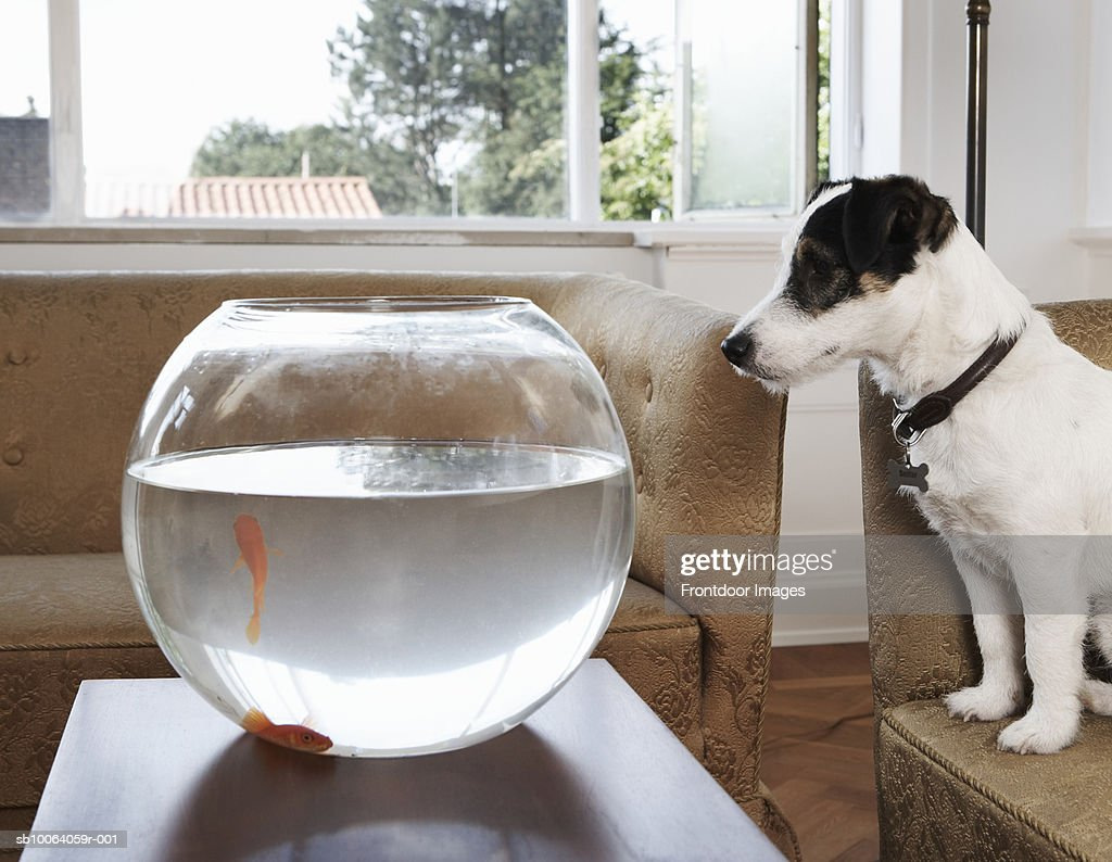 Dog looking at goldfish in glass bowl : Stock Photo