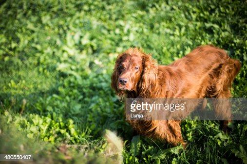 Cão a Olhar para a câmara : Foto de stock