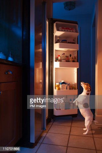 Dog looking into refrigerator : Stock Photo