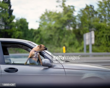dog looking out car window on highway stock photo getty