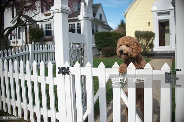 Dog looking out from garden fence on hind legs
