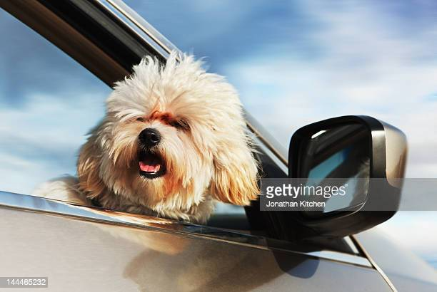 Dog looking out of a moving car window