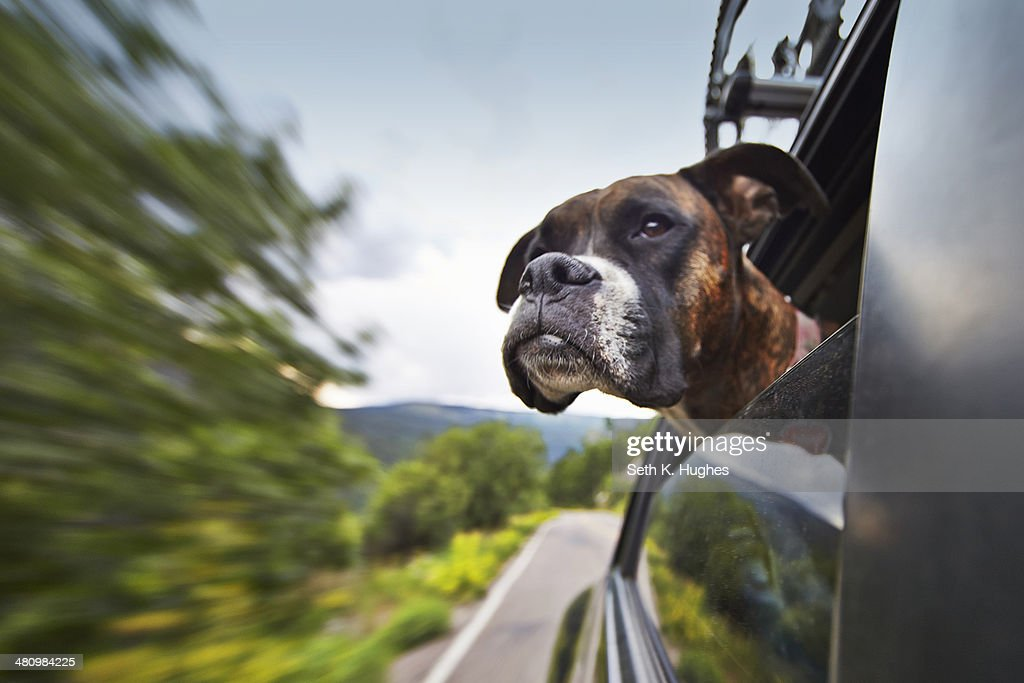 Dog looking out of car window whilst on the move
