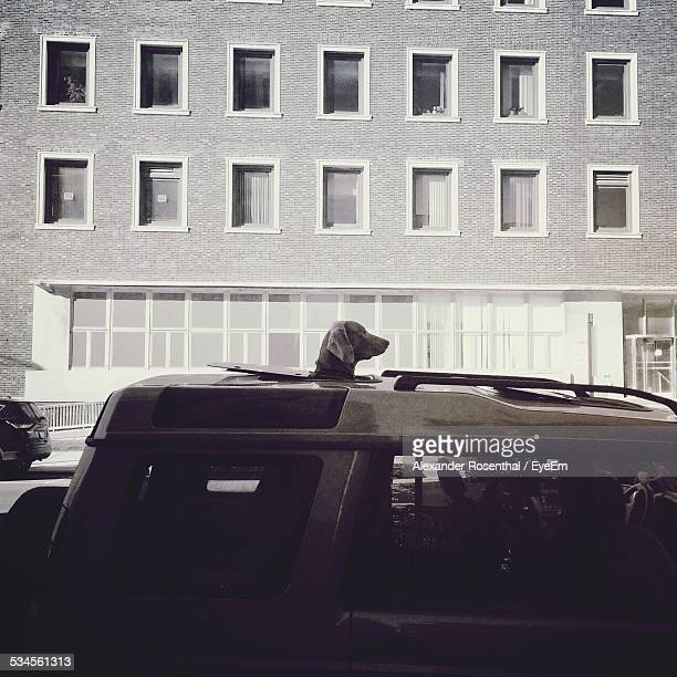 Dog Looking Out Of Sun Roof In City