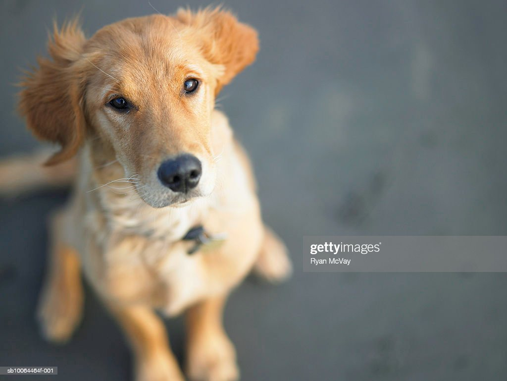 Dog looking up, close-up : Stock Photo