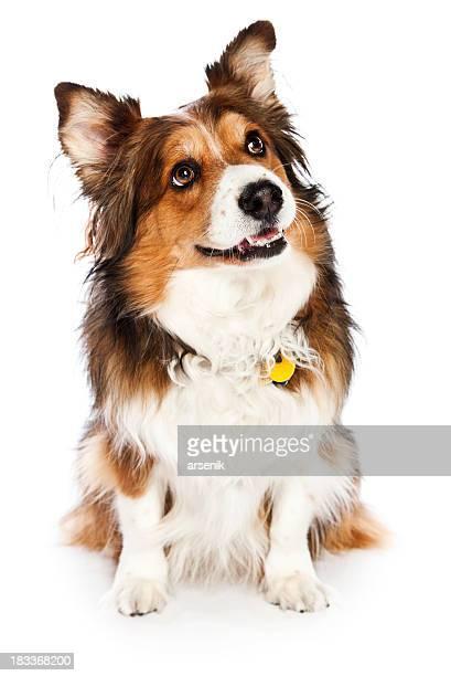Собака Смотреть вверх