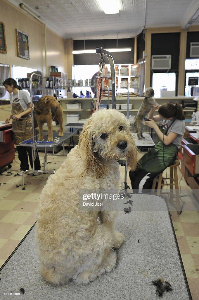 Licence As A Dog Groomer Uk