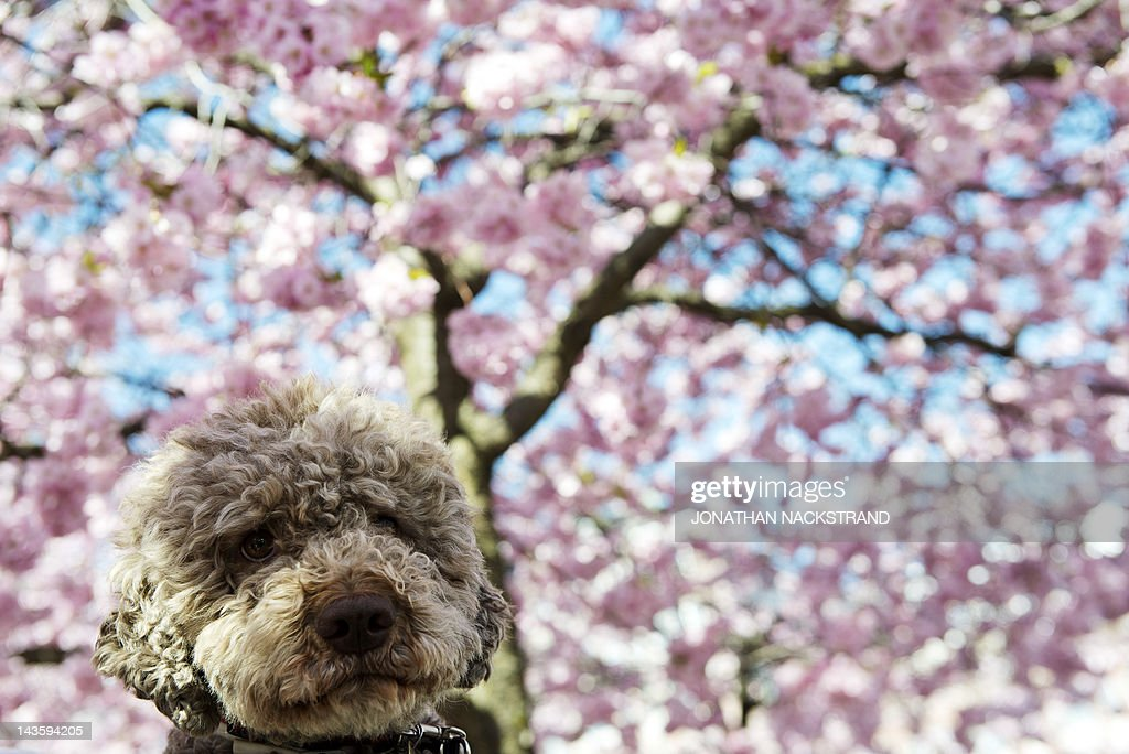 Dogs Love Cherry Blossoms Too