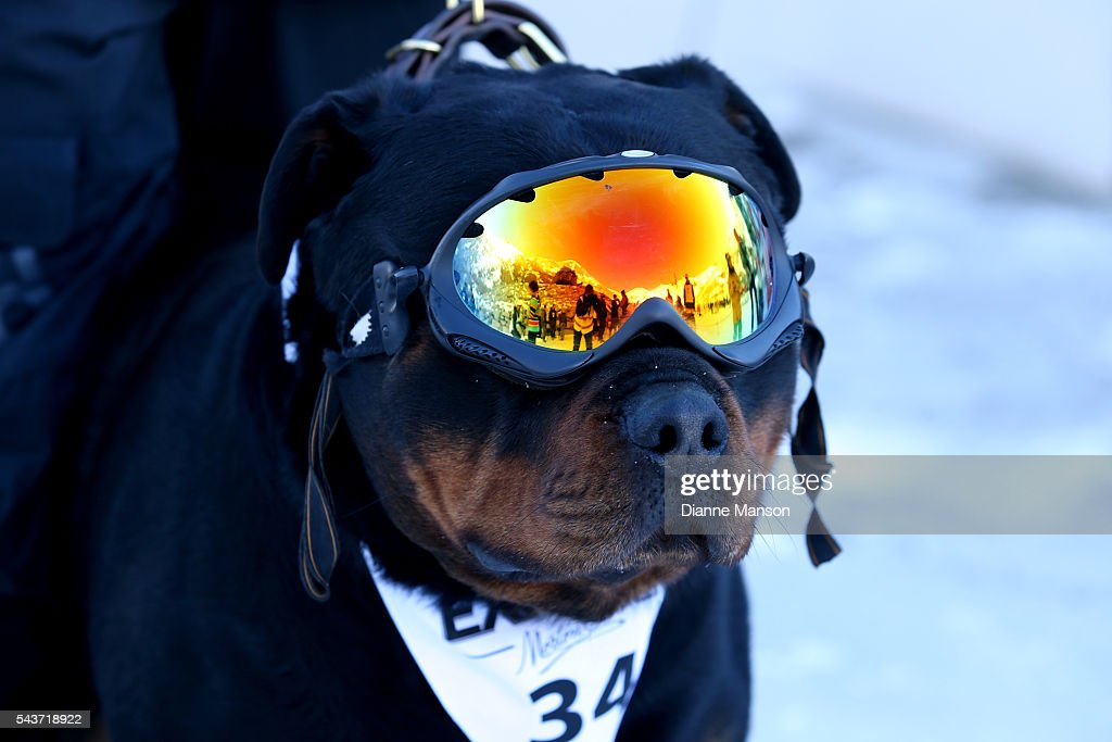 A dog looks on when waiting for the chair lift to the start line during the DB Export Dog Derby at the Remarkables ski field on June 30, 2016 in Queenstown, New Zealand.