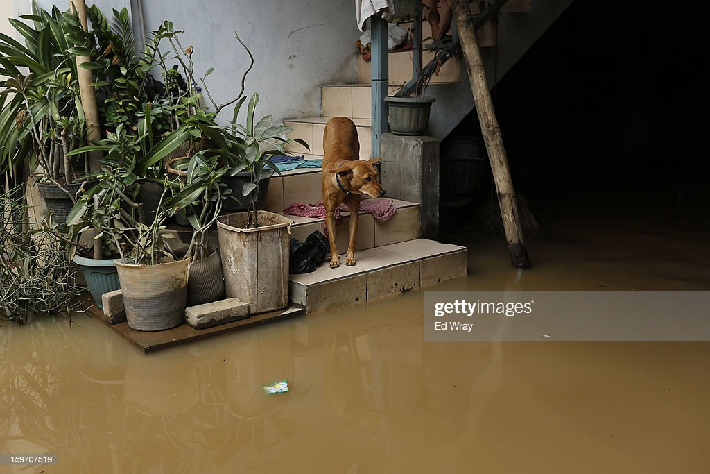 A dog looks out at floodwaters from a flooded home on January 19, 2013 in Jakarta, Indonesia. Floodwaters receded today after three days of heavy flooding which left thousands of people's homes underwater. According to Indonesian police the death toll has reached 15.