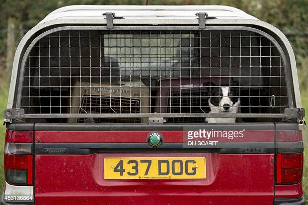 A dog looks out from a pickup truck with a personalised numberplate in the car park for the English National Sheepdog Trials at Sutton Hall Farm near...