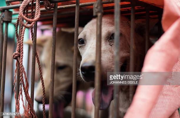 A dog looks out from its cage at a stall as it is displayed by a vendor as he waits for customers during a dog meat festival at a market in Yulin in...