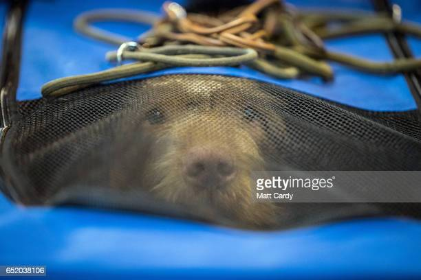 A dog looks out from its cage on the third day of Crufts Dog Show at the NEC Arena on March 11 2017 in Birmingham England First held in 1891 Crufts...