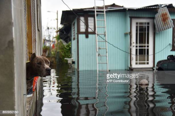 A dog looks out of a house flooded by Hurricane Maria in Catano town Juana Matos Puerto Rico on September 21 2017 Puerto Rico braced for potentially...