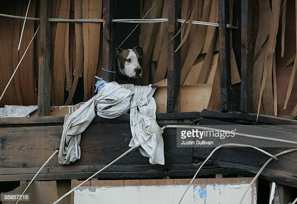 A dog looks out of the second story of a heavily damaged house September 16 2005 in New Orleans Louisiana Rescue efforts and clean up continue in the...