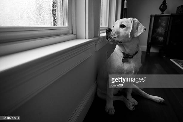 Dog looks out the window on a rainy day
