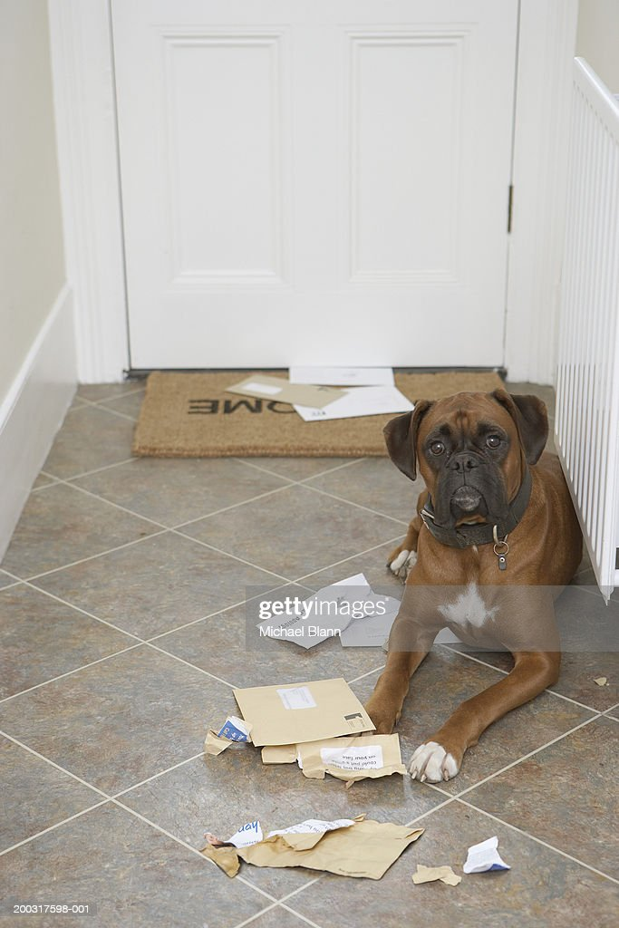 Dog lying by doormat and chewed mail : Stock Photo
