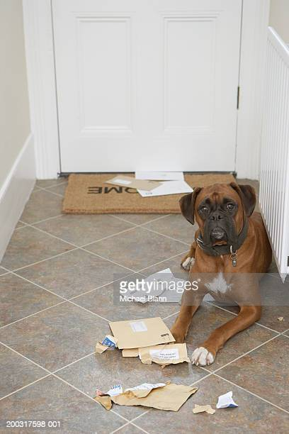 Dog lying by doormat and chewed mail