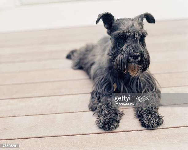 Dog lying on a porch