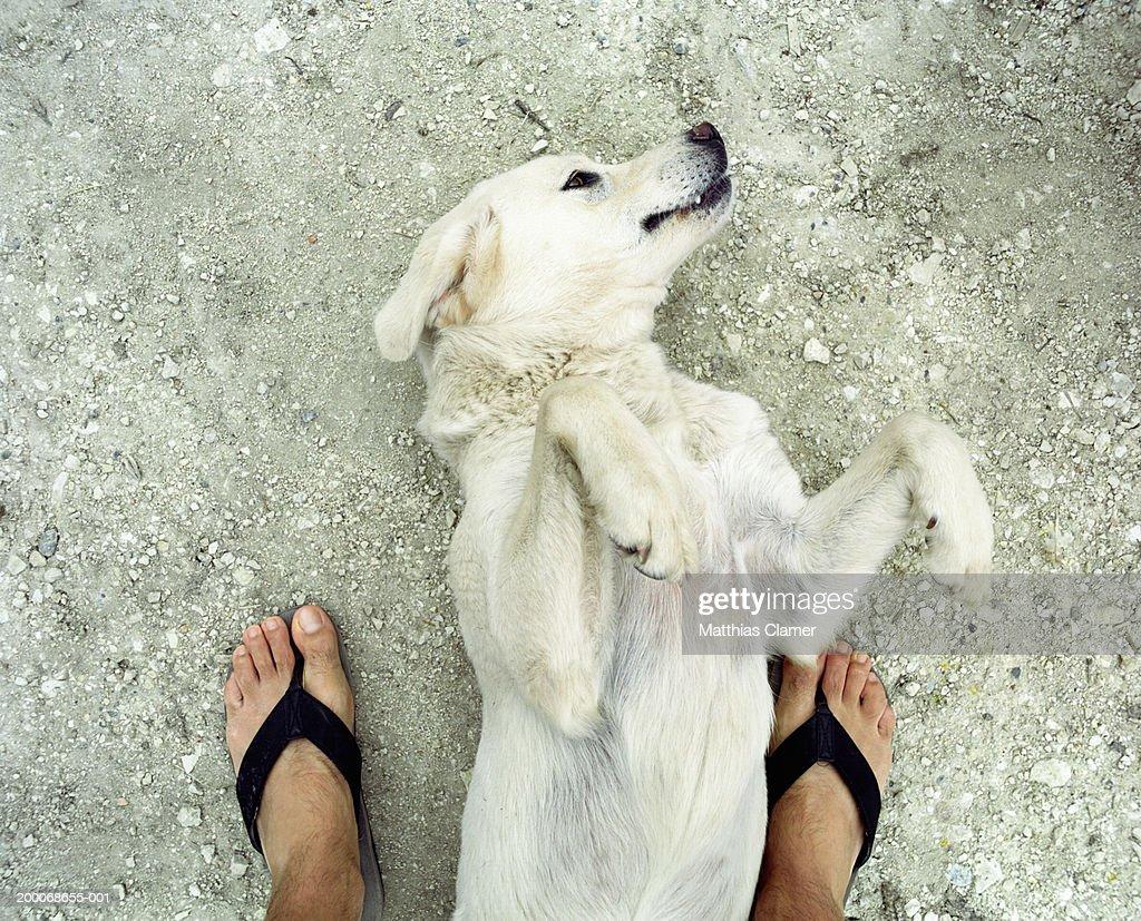 Dog lying on back between man's legs : Stock Photo