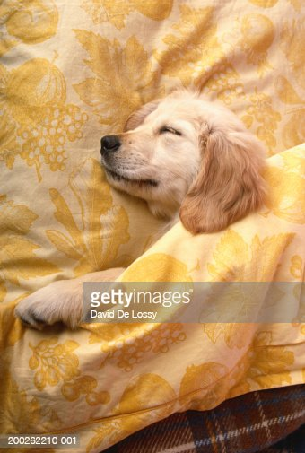 Dog lying on bed, elevated view : Stock-Foto