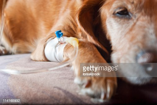 dog lying on bed with cannula in vein taking infusion : Stock Photo