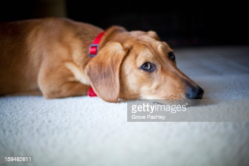 Dog lying on floor : Stock Photo