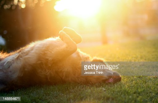 Dog lying on grass : Stock Photo