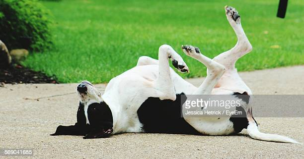 Dog Lying On Road By Grassy Field
