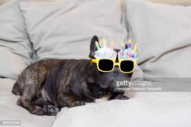 Dog lying on sofa with funny sunglasses and happy birthday