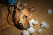A brown dog lying down with the cotton out of the toy she chewed up.