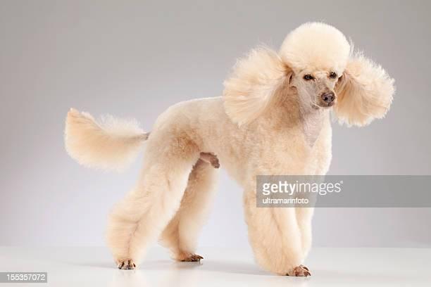 Hund-Minipudel
