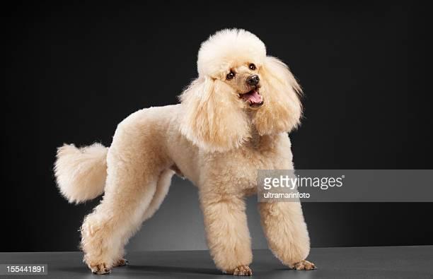 犬の小型プードル