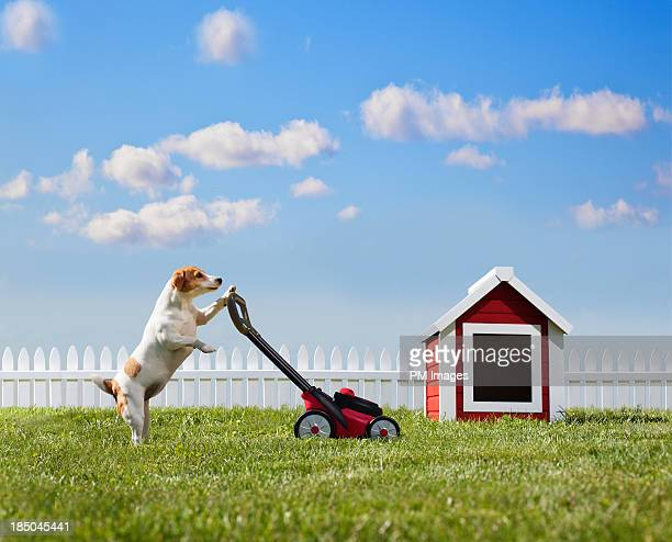 Dog mowing lawn near dog house