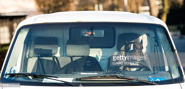 A dog named 'Face' of the Alano Espanol breed sits behind the steering wheel of a parked car on February 17 2016 in Hamburg northern Germany / AFP /...