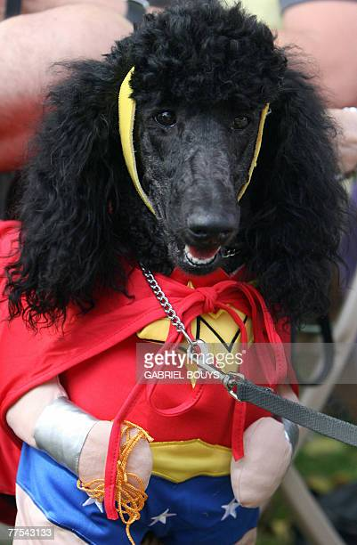 A dog named JeeJee is dressed with a Superwoman costume during a doggy costume contest in West Hollywood California 28 October 2007 AFP PHOTO GABRIEL...