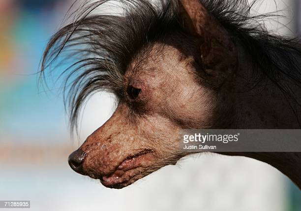 A dog named Lucielle Bald is seen during the 18th annual World's Ugliest Dog competition June 23 2006 at the SonomaMarin Fair in Petaluma California...